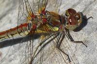 Dragonfly Thorax