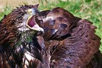 Eagle Bathtime