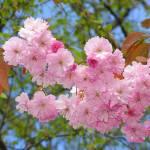 """""""Cherry Blossom"""" by loversdream"""