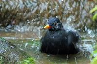 blackbird in the bath