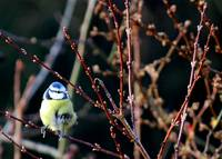 Blue Tit in winter