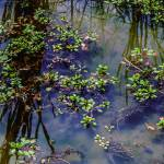 """Turtle Pond Reflections and Floating Plants"" by GinetteCallaway"