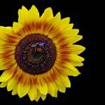 """""""Sunflower"""" by loversdream"""