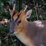 """Muntjac Deer, Muntiacus reevesi"" by loversdream"