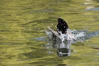 Water Wings, Mallard Duck, Anas platyrhynchos