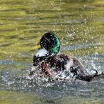 """Mallard Duck, Anas platyrhynchos"" by loversdream"