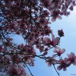 """""""Magnolia in the Sky"""" by Kimmary"""