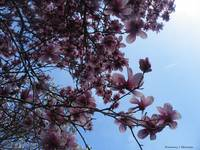 Magnolia in the Sky