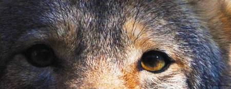coyote eyes II