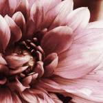 """Dahlia Blossom"" by Attentiongetters"