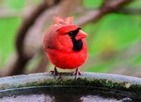 Mr. Male Northern Cardinal at the Bird bath.
