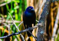 The  Male Common Grackle.