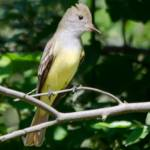 """Great Crested Flycatcher"" by WildAboutNaturePhotography"