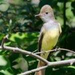 """""""Great Crested Flycatcher"""" by WildAboutNaturePhotography"""