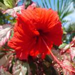 """Hibiscus on Sabine Road"" by gjw"