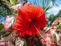 Hibiscus on Sabine Road