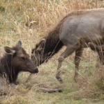 """Female Elk in Meadow Near Fern Canyon in Northern"" by anniepics"