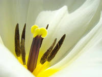 White Tulip Flower Macro Yellow Tulip art prints