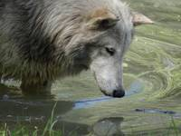 A wolf in reflection