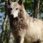 """""""Lucky, the tundra wolf"""" by Anewsgal"""