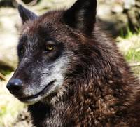 Raven, a timber wolf