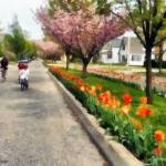 """Tulips on the Boulevard Holland Michigan"" by Michelle1991"