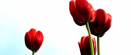 Four Red Tulips
