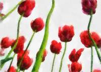 Red Tulips from the Bottom Up 2