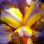 """Iris In Color"" by photosbybritney"