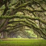 """Avenue of Oaks - Charleston SC Plantation Live Oak"" by DAPhoto"