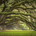 """Avenue of Oaks - Charleston SC Plantation Live Oak"" by DAPhoto"