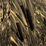 """Cattails in Sepia Triptych"" by leapdaybride"