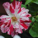 """Spring flower"" by Willssb"