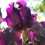 """""""Iris"""" by Dzines"""
