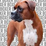 """Boxer Dog"" by badboo"