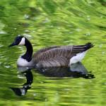 """Canada Goose in Green Water"" by KsWorldArt"