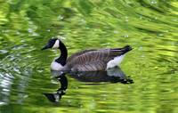 Canada Goose in Green Water
