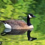"""Canada Goose in Green Water"" by KsWorldArt"