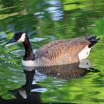 """Canada Goose on Green Lake"" by KsWorldArt"