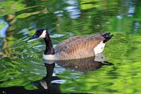 Canada Goose on Green Lake