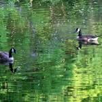"""Canada Geese in Green Water"" by KsWorldArt"