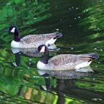 """Canda Geese Couple"" by KsWorldArt"