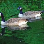 """Canada Goose Pair on Green Water"" by KsWorldArt"