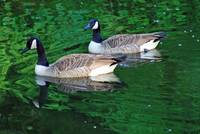 Canada Goose Pair on Green Water