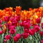 """""""120513_tulip_festival_02"""" by andreifilippov"""
