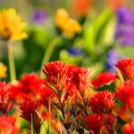 """""""Dalles Mountain Paintbrush"""" by aphimages"""