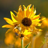 Yellow Balsamroot