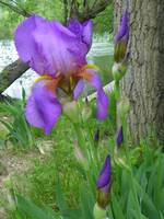 Floral - Iris Along The River - Outdoors Flower