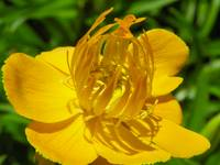 Floral - Golden Queen Globeflower - Garden Flower