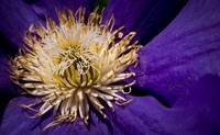 Large Clematis Flower Core